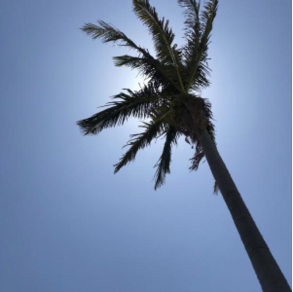 Santa Monica Palm Trees