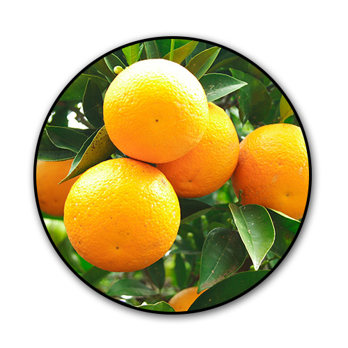 citrus-trees.jpg