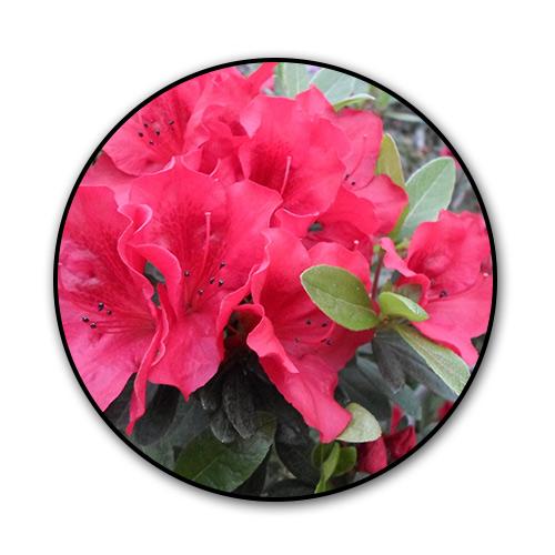 azaleas.jpg