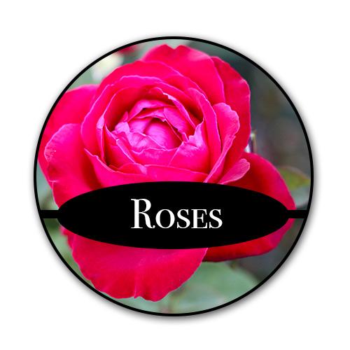 roses_text_new.jpg
