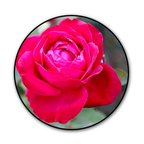 roses_new.jpg