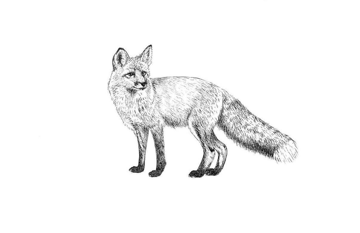 fox...jpg