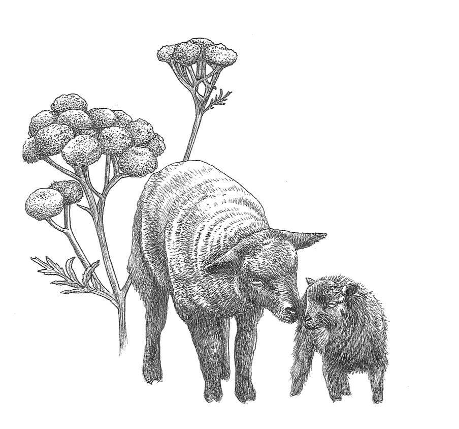 woolful sheep scans 11.jpg