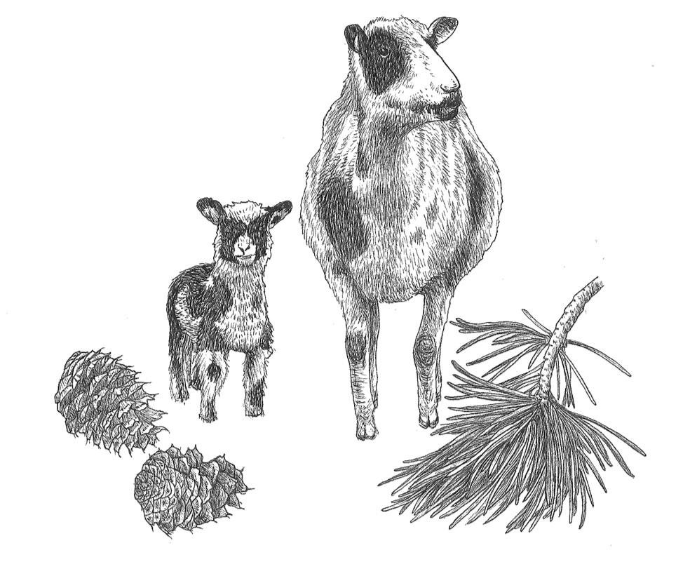 woolful sheep scans 10.jpg