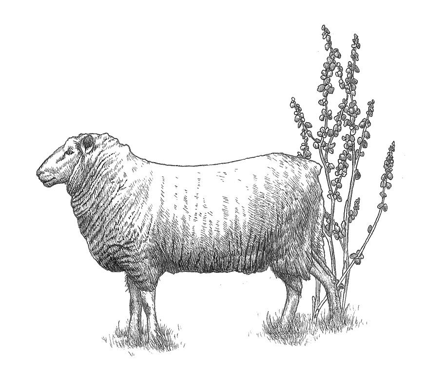 woolful sheep scans 8.jpg