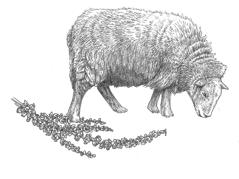 woolful sheep scans 7.jpg