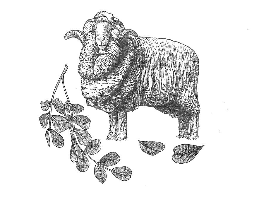 woolful sheep scans 5.jpg