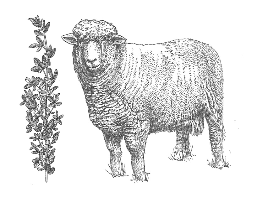 woolful sheep scans 4.jpg