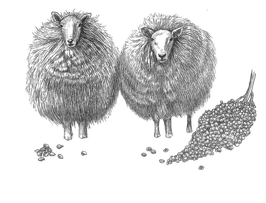 woolful sheep scans 3.jpg