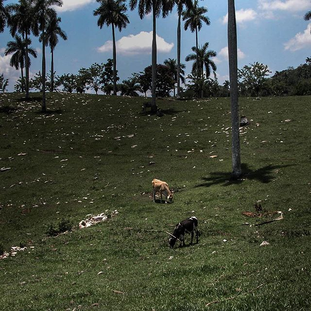 Manuel and Vicente always shared their #pastures in #ruralcuba #cows #vacas