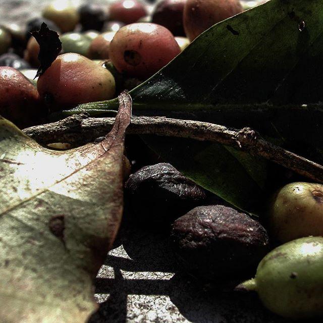 #Cuban coffee berries drying in the sun #ruralcuba #coffee #agriculture