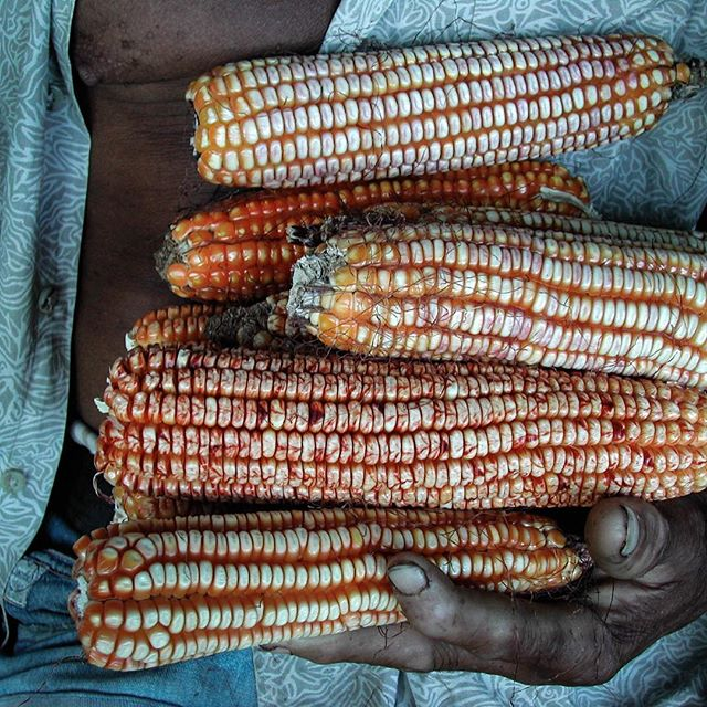 #harvest of traditional #corn from the soil in #cuba; land of #cacho and #juanito #hacediezaños
