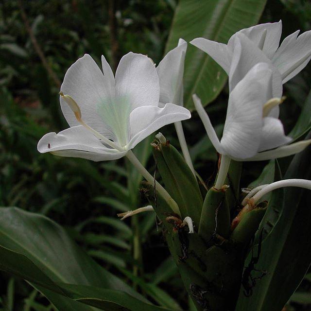 Mariposa blanca, the national flower of #cuba #hedychiumcoronarium #whitegingerlily from the #homegarden of #isidro #hacediezaños