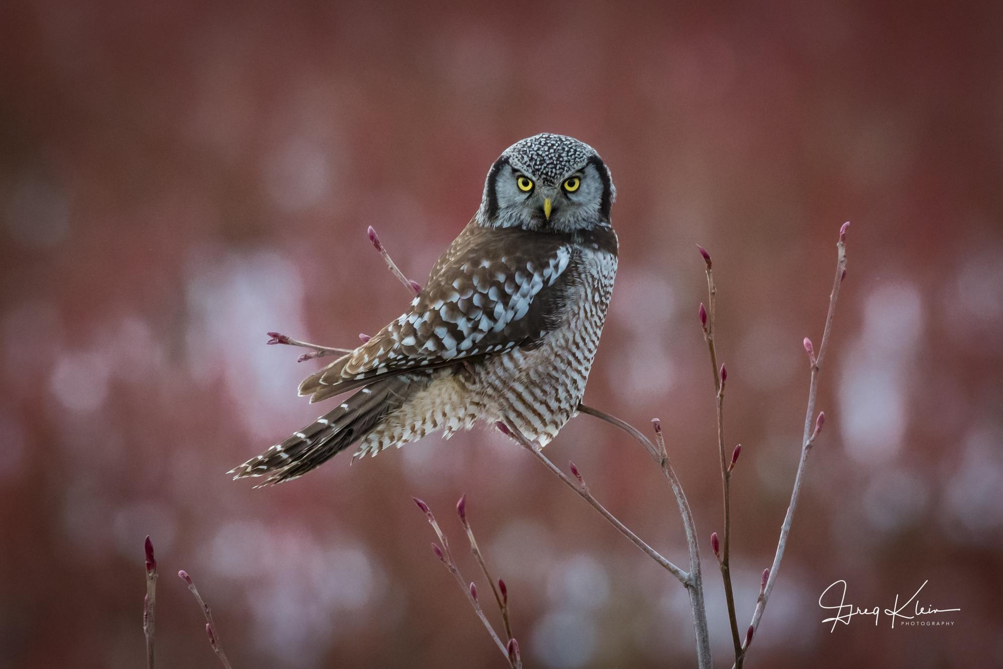 Northern Hawk Owl Red.jpg