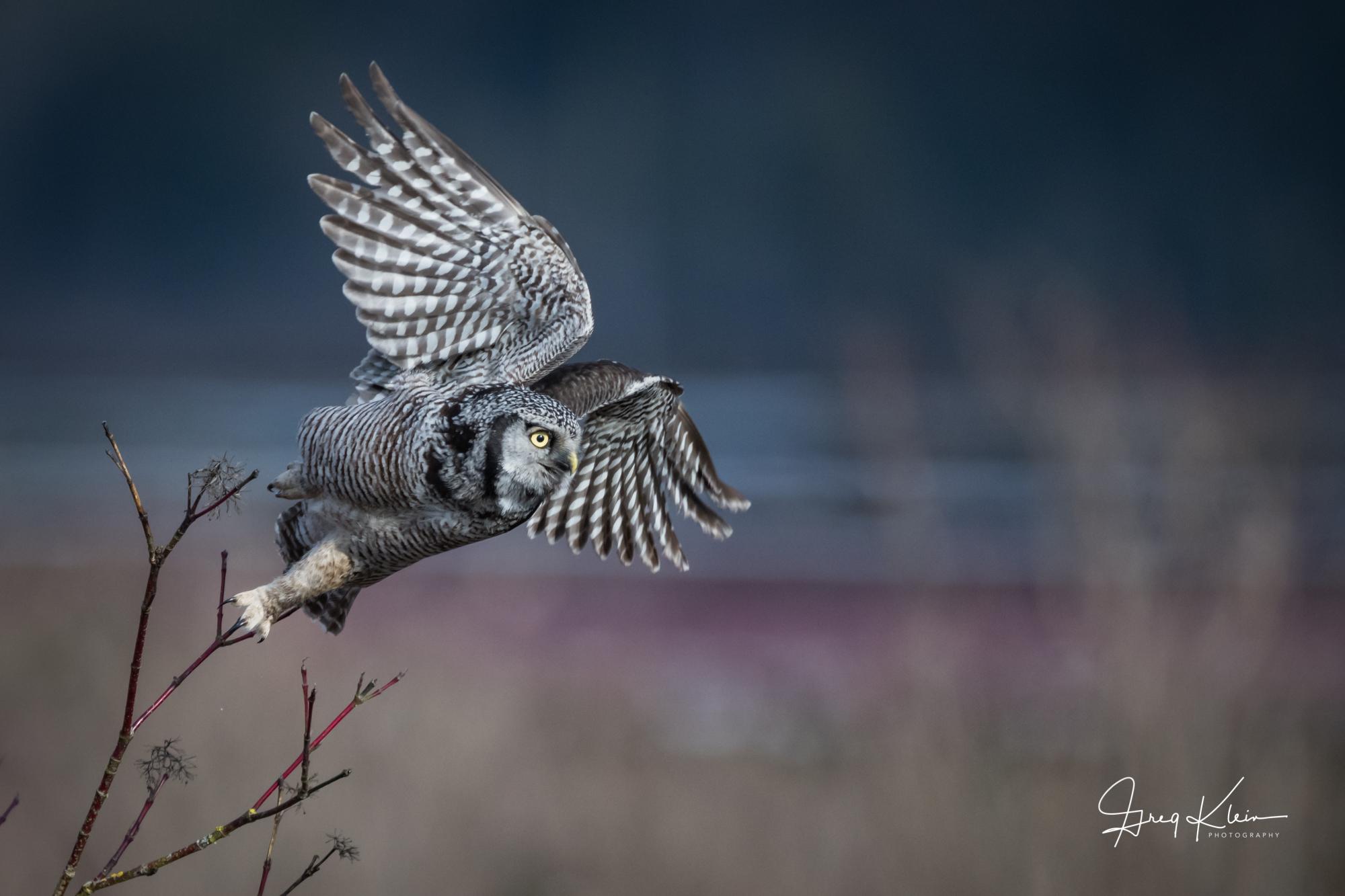 Northern Hawk Owl Purple.jpg
