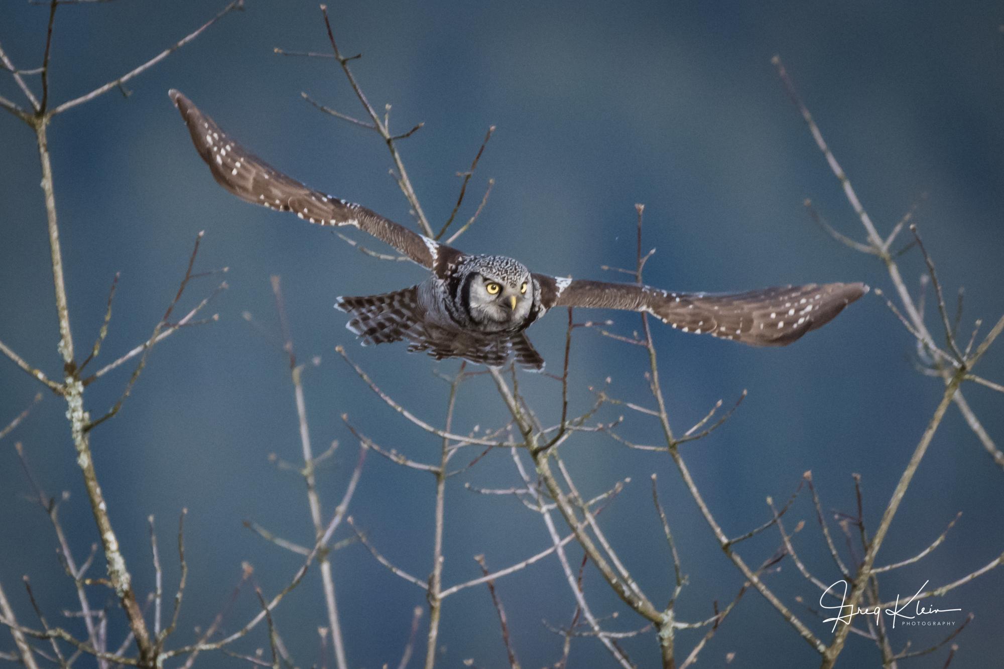 Northern Hawk Owl Blue.jpg