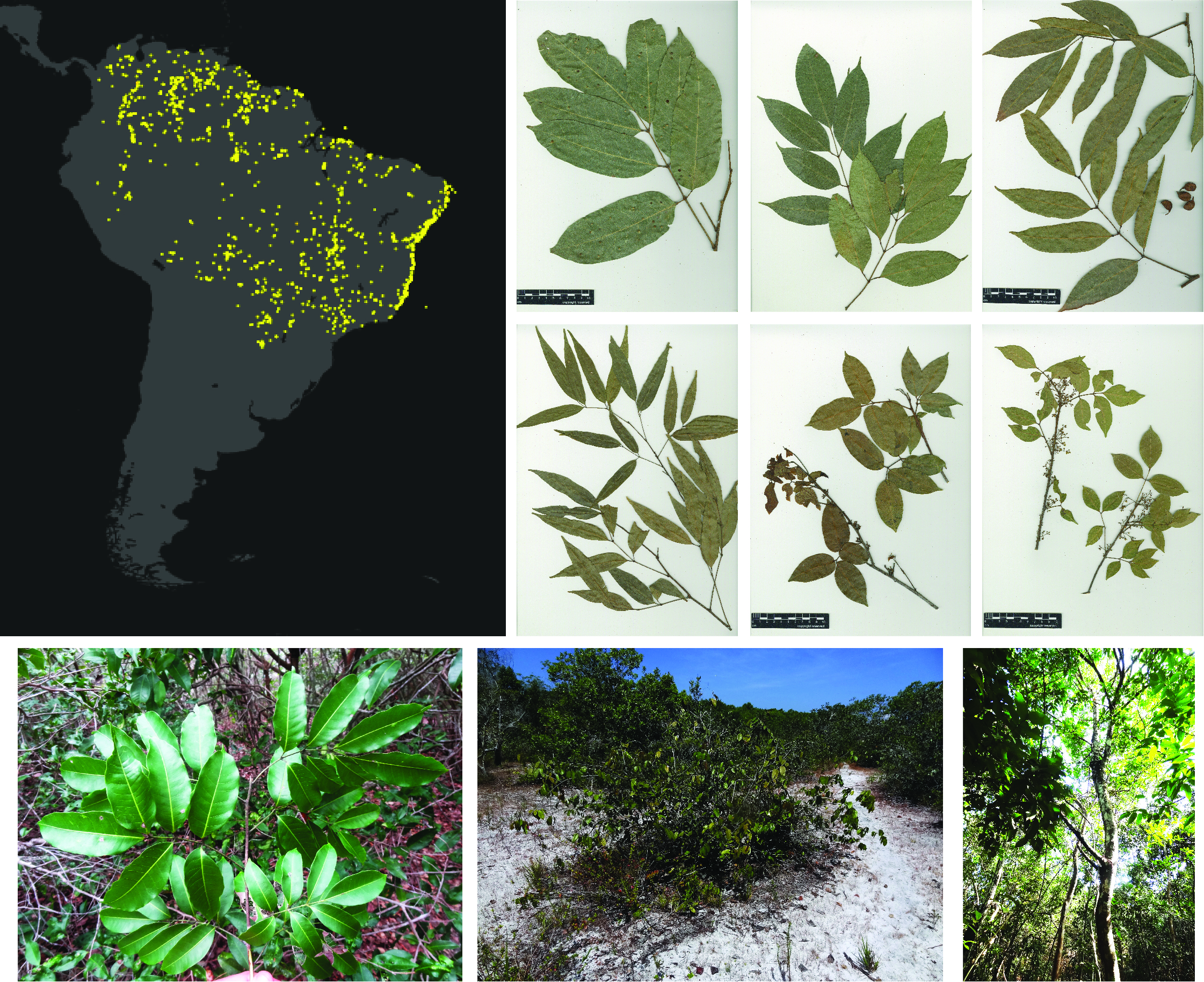 Study System - Protium heptaphyllum is distributed in most of all Neotropical biomes, across a wide range of climatic and environmental conditions.This group exhibits a remarkable variation of leaf shape, flower and fruit traits and I aim to detect the informative characters to resolve its taxonomic delimitation.