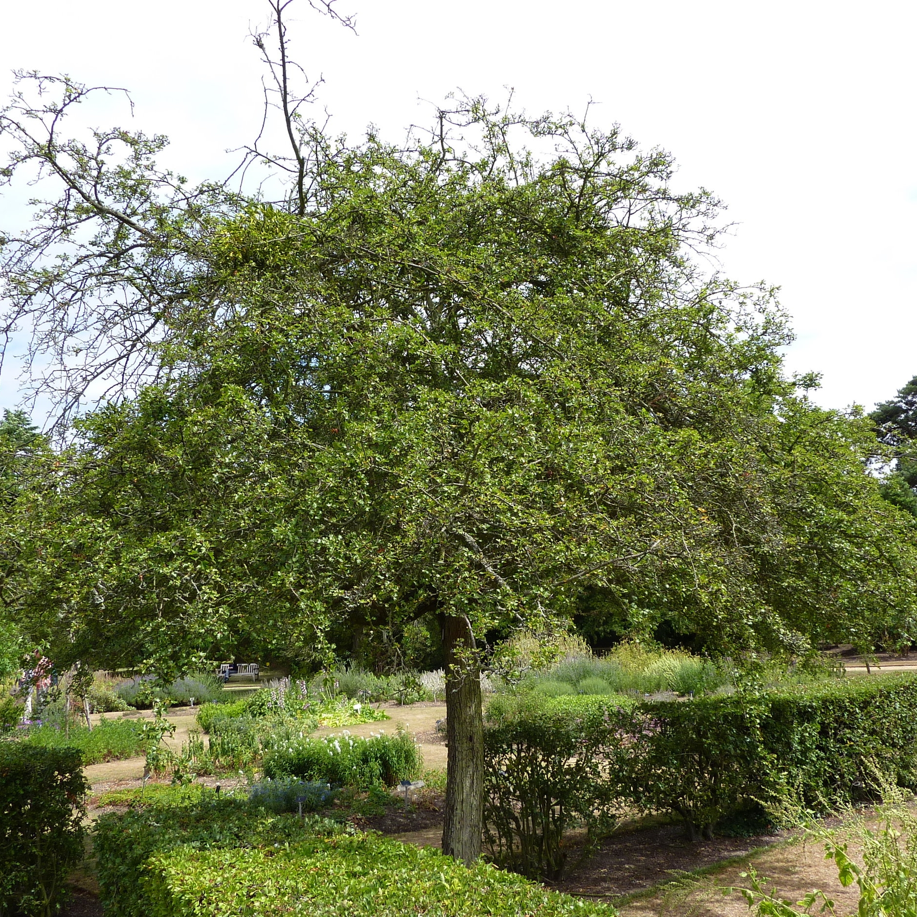 Crataegus_laevigata_'Punicea'_(Rosaceae)_tree_CC_commons.wikimedia_.JPG