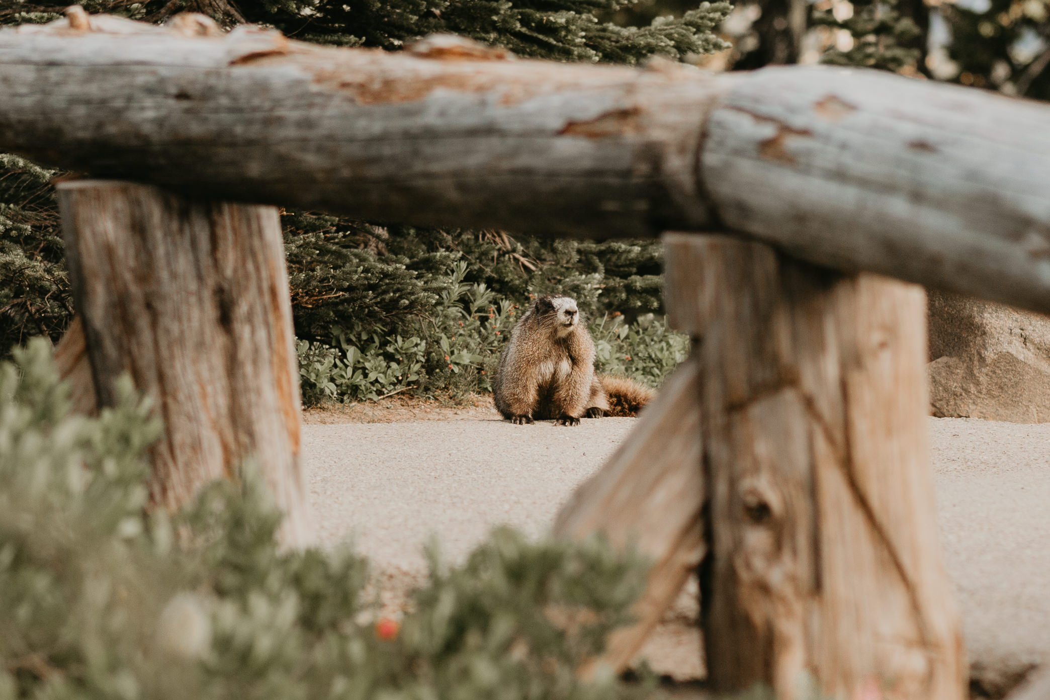 Nicole-Daacke-Photography-Mt-Rainier-elopement-photographer-washington-mountain-epic-wedding-photography-wildflowers-at-rainier-pine-tree-cloudy-summer-day-at-mountain-rainier-10.jpg