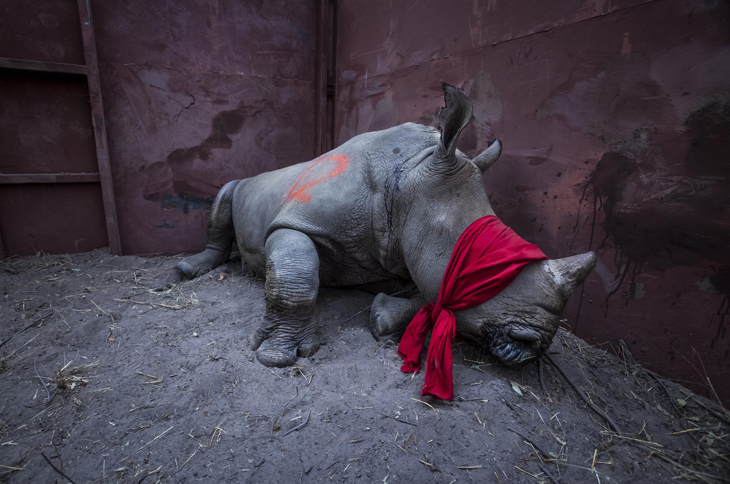 Blindfold Rhino | Neil Aldridge