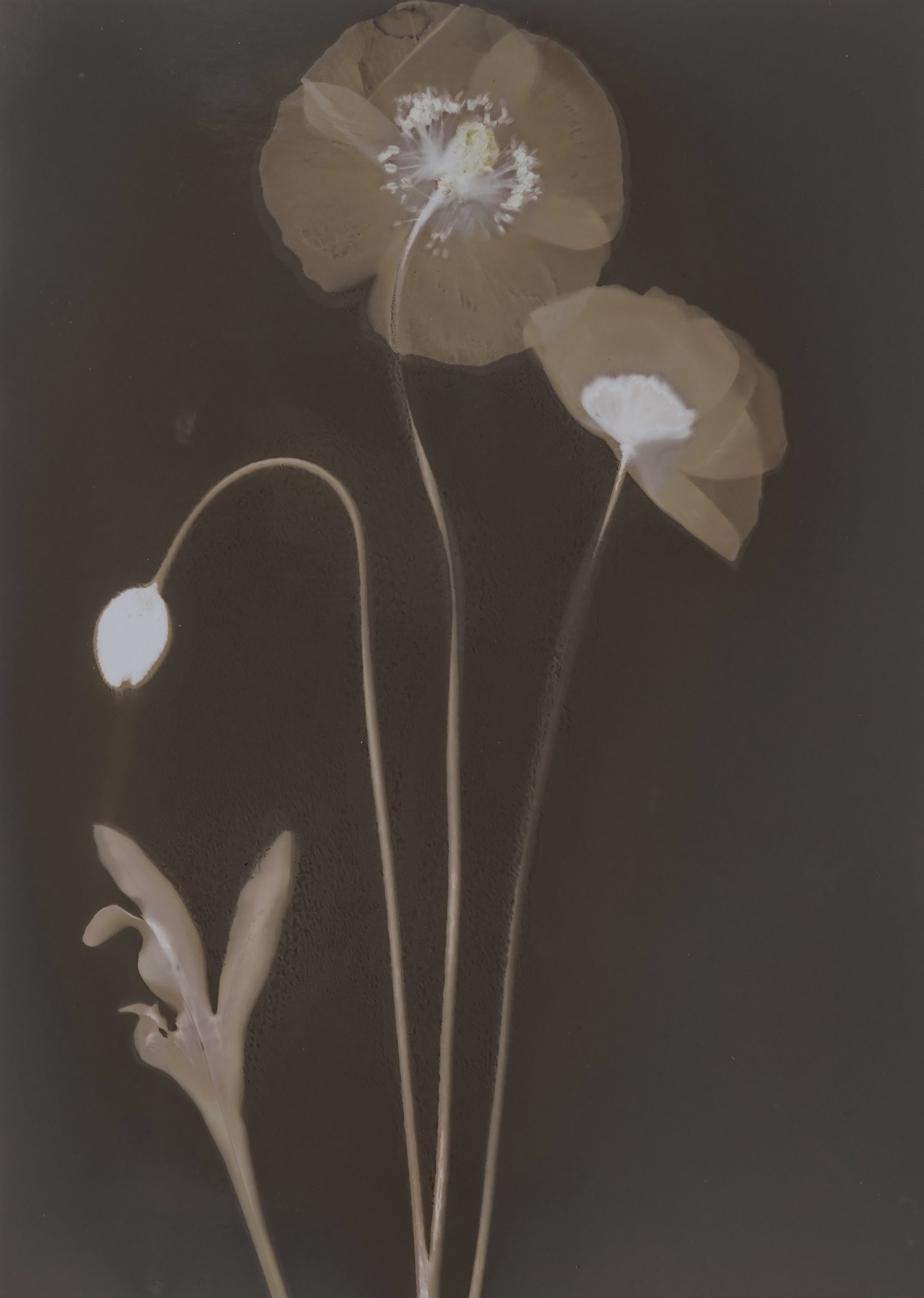 Papver raeticum