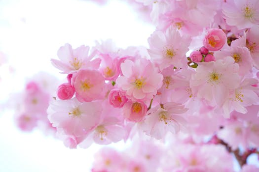 Cherry Blossoms - Leaves are finally on the trees everywhere. The sights and smells are glorious. Everything feels fresh and wonderful. And the Cherry Blossoms - so beautiful and signs that all is well with the world.