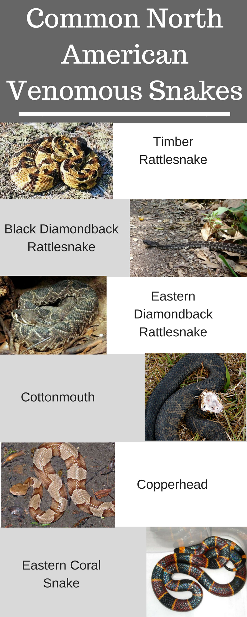 Common North American Venomous Snakes.png