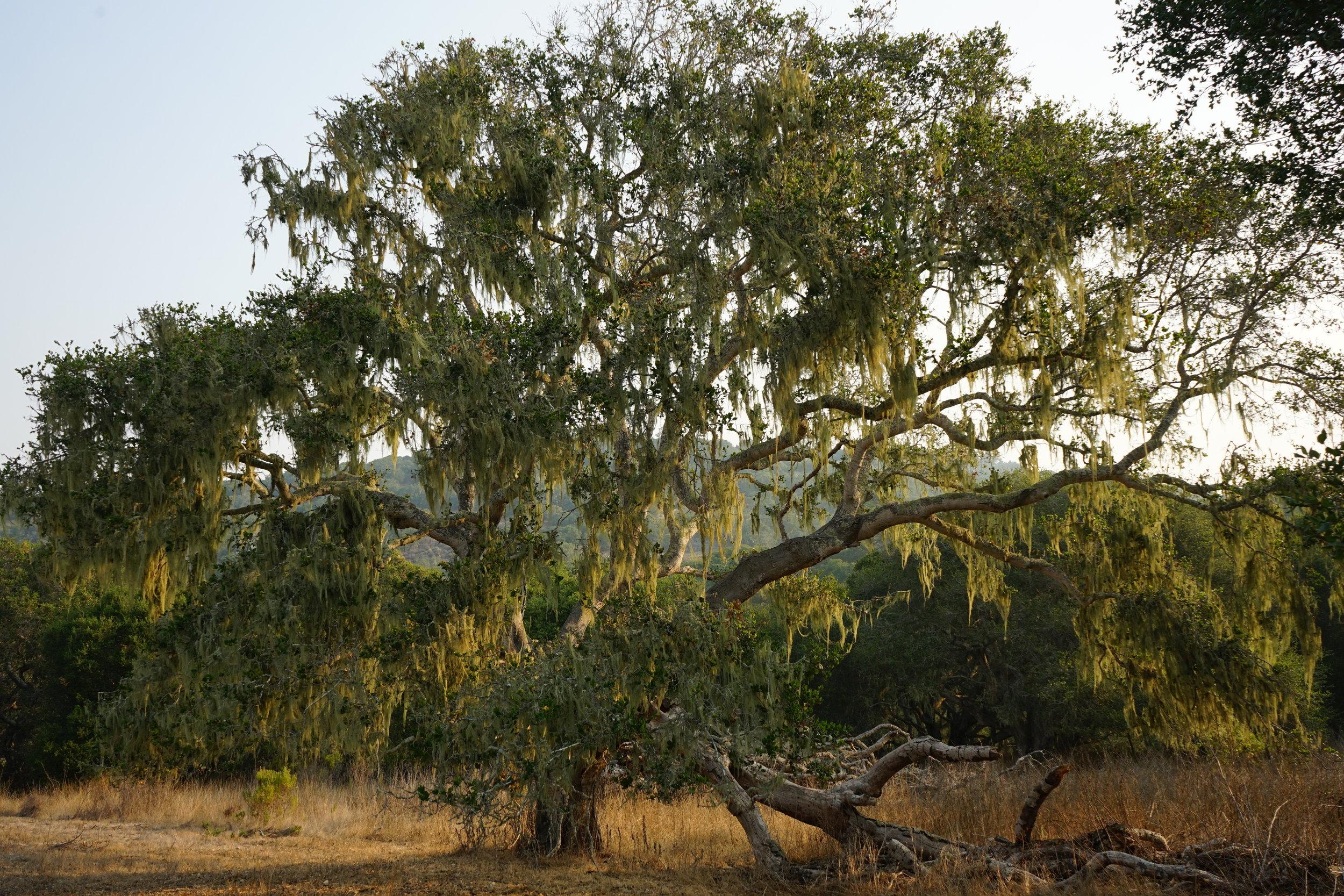 trees at walden monterey.jpg