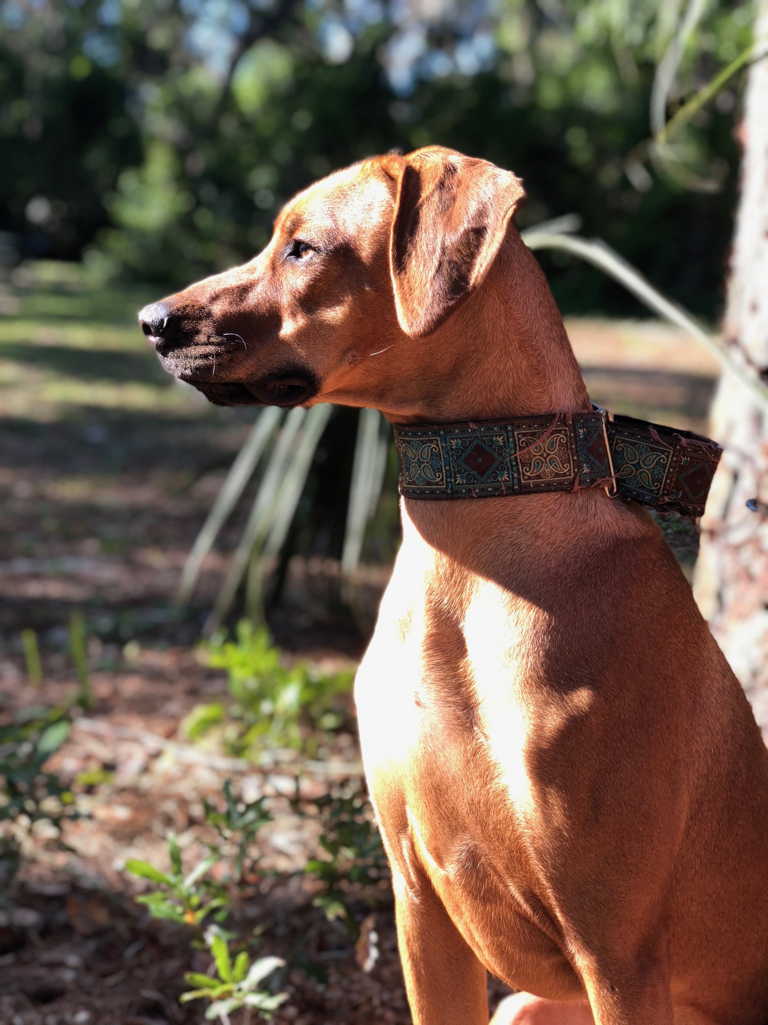 Matatu, Justin's Rhodesian Ridgeback