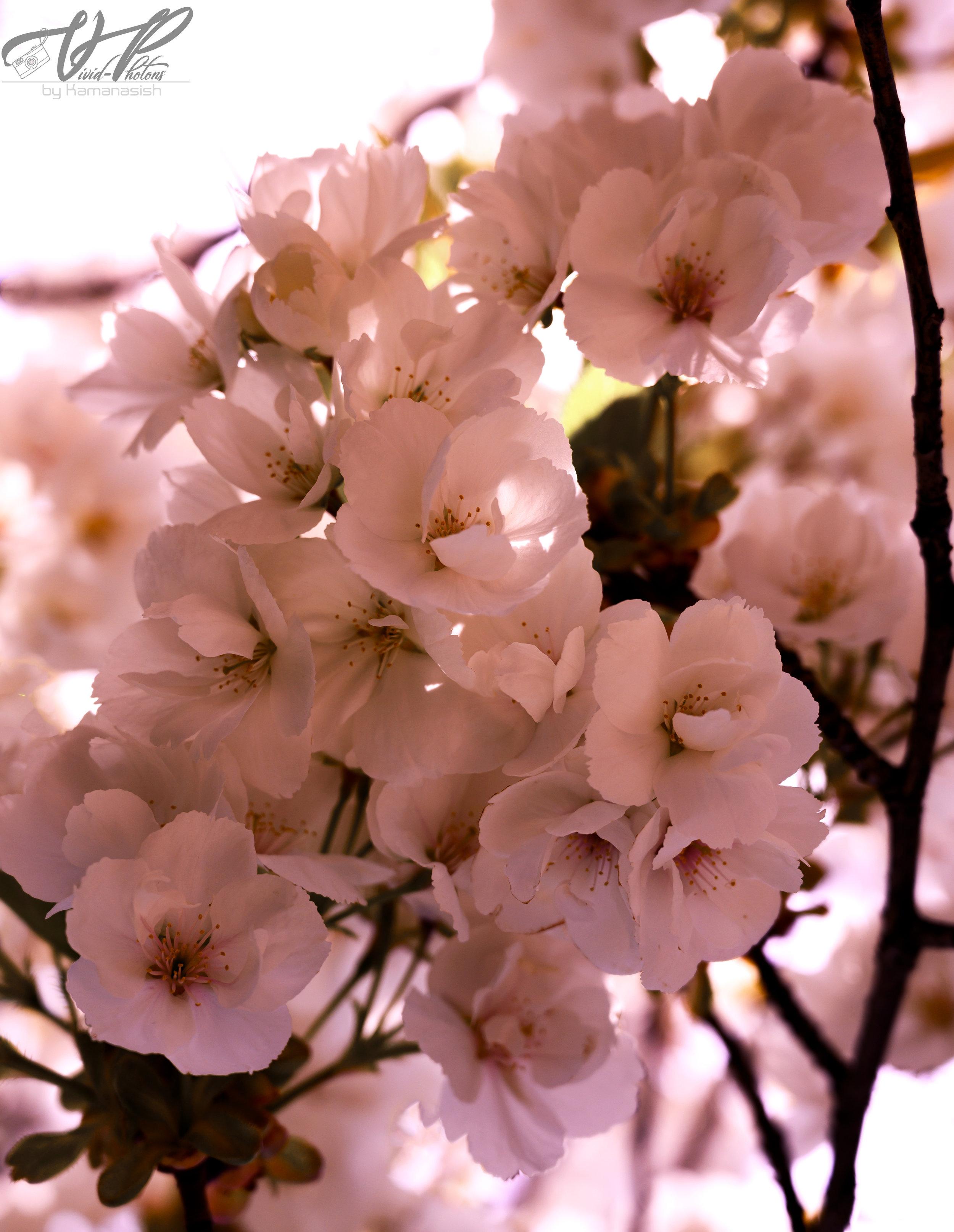 Sakura_jpeg.jpg