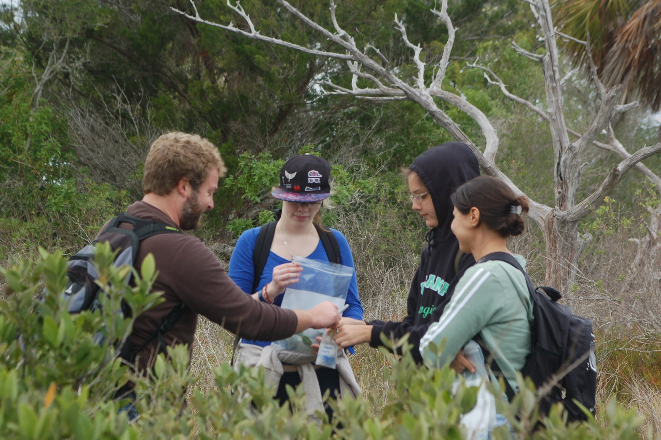 Collecting mangrove leaf tissue with undergraduate researchers from the University of Florida in Seahorse Key, Florida