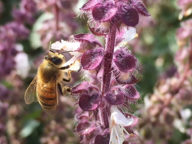 Our favorite pollinator, the honey bee, dining on basil in full bloom