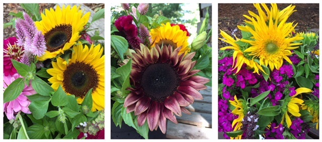 A wide assortment of sunflowers are grown here at Darnell School Farm