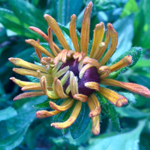 Rudbekia Chim Chiminee waking up and ready to join in a bouquet just for you!