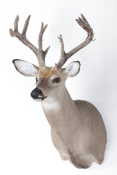 DeerWithPartialVelvetOnAntlers.jpg