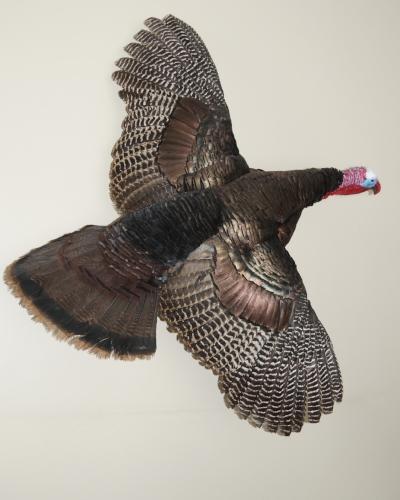 Turkey_Flying.jpg