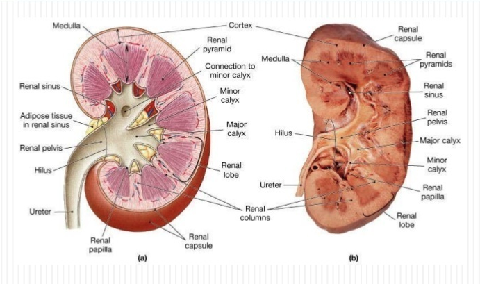 Kidney-Anatomy.png