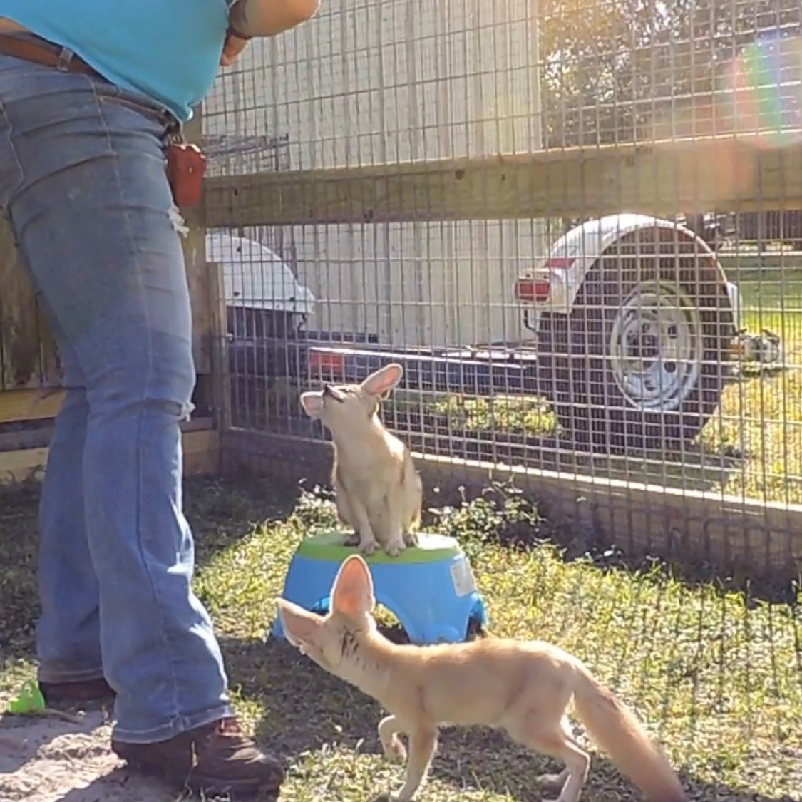 Instead of running out the door when it opens, Speedy, a Fennec Fox, is learning to run and sit on his stool instead.