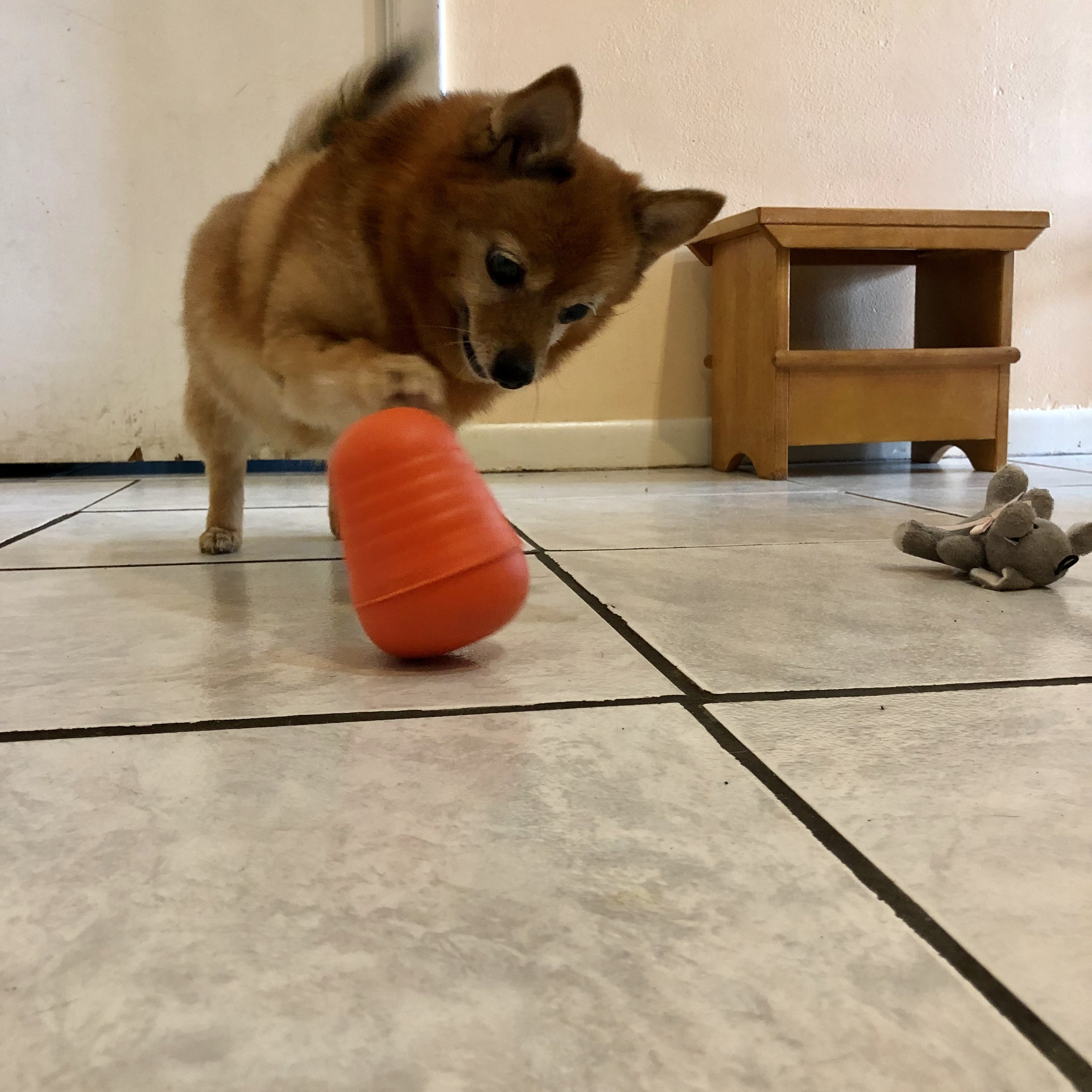Foxy enjoys breakfast via food dispensing toys.