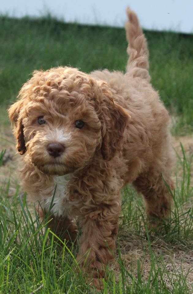 Monarch Australian Labradoodles Your