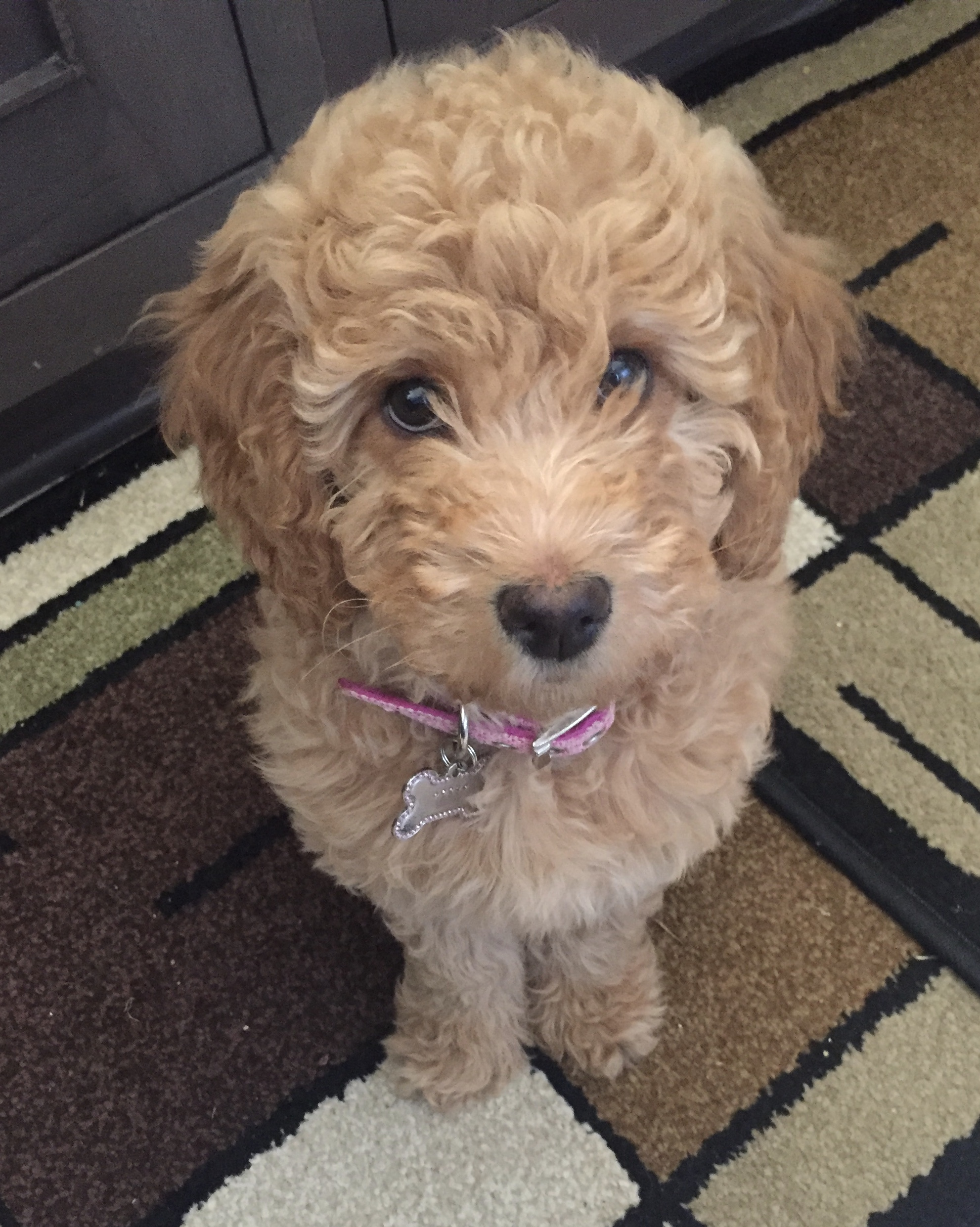 Monarch Australian Labradoodles Your New Best Friend Is Here