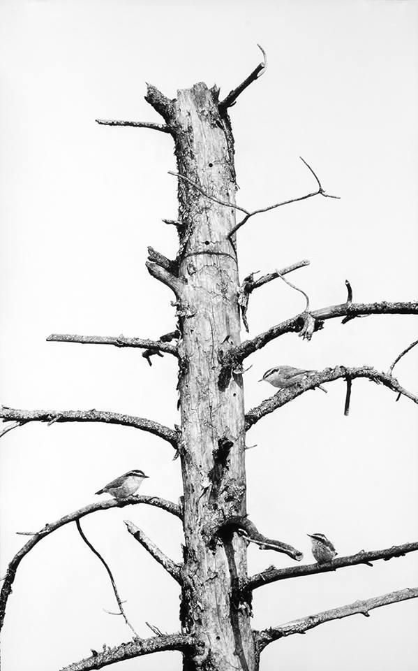 Bleached_Pine.jpg