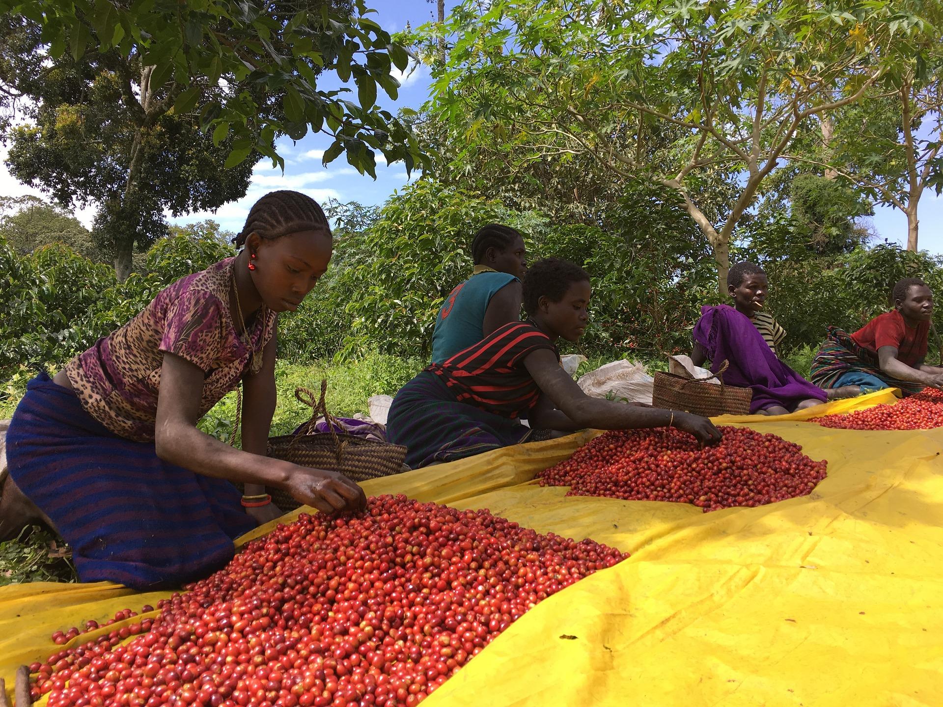 Coffee bean farmers picking through the coffee tree fruit