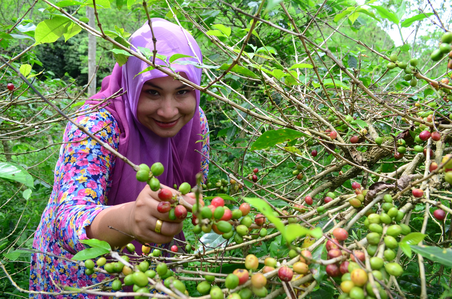 Farmer picking coffee tree fruit from tree