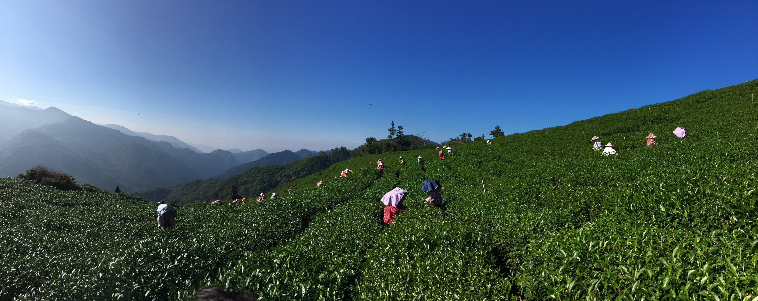 tea farming on the mountain