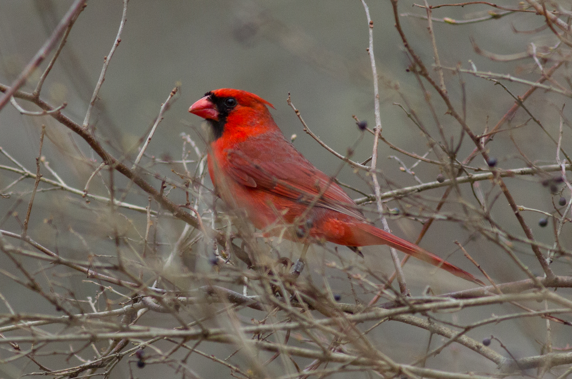 A banded male North American cardinal ( Cardinalis cardinalis ) in Rhode Island, April 2018,  Photo credit: Steve Brenner