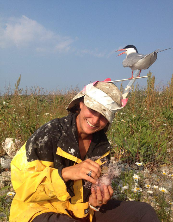 - Kristen J. DeMoranville monitoring the growth of Common tern chicks on Penikese Island, MA. Those sticks are supposed to deter adults from pecking our heads.