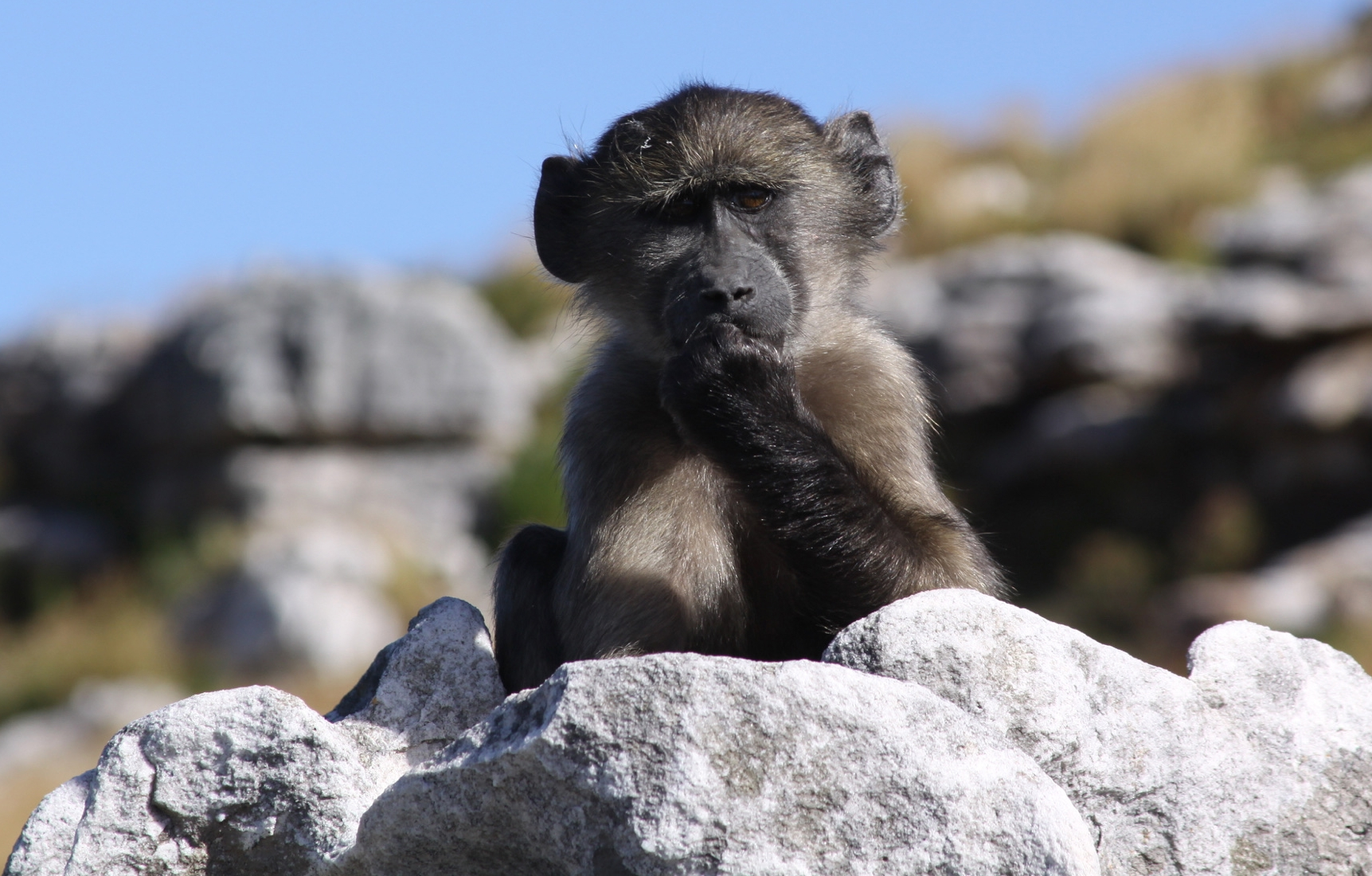 Insightful baby baboon, Cape Town, South Africa,  Photo credit: Clara Cooper-Mullin