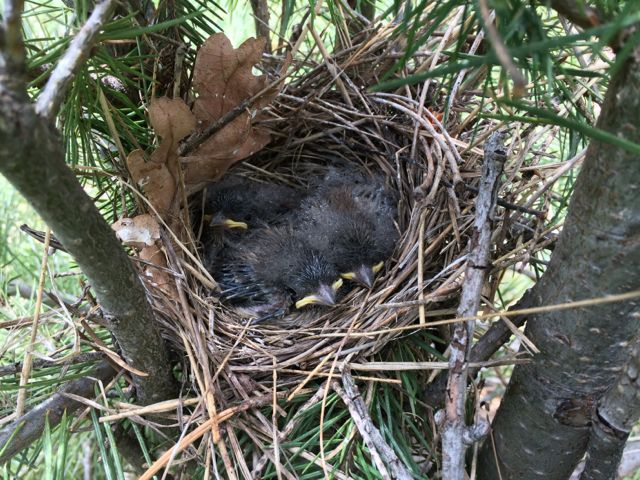 Nestling Dark-eyed juncos, hoping their parents picked a safe nest location. Arizona, summer.  Photo credit: Steve Brenner
