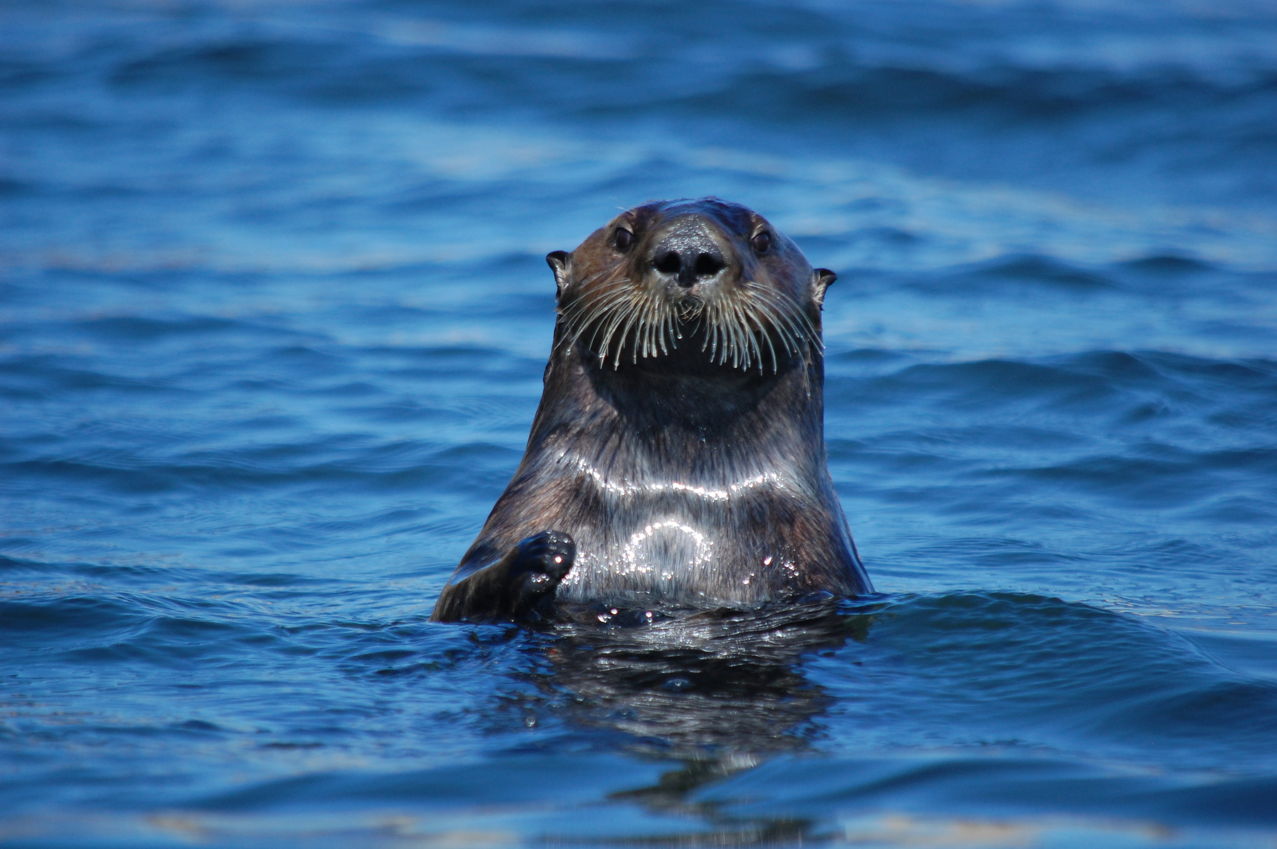 How did the Sea otter, the most playful and adorable animal on the planet, evade extinction? Todd McLeish tells you their story in his new book,    Return of the Sea otter   . Sea otter surfacing on the Pacific coast, USA  Photo credit: Renay McLeish
